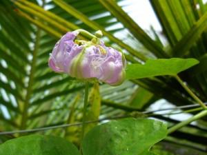 Flower of passiflora foetida in Pattaya