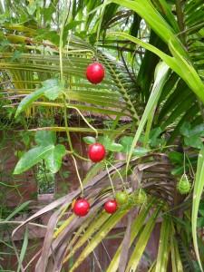 The fruits of passiflora foetida
