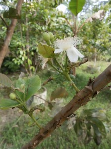 Most guava flowers at Discovery Garden Pattaya are white