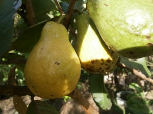 Yellow guavas with yellow  flesh can easily been grown from seeds in Thailand and Laos