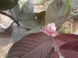 The flowers of red guavas are pink