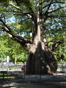 Not in Thailand: This baobab tree I saw in Recife