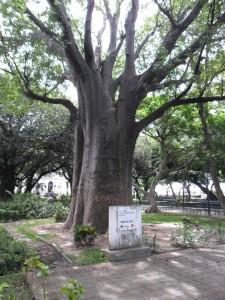 A diameter of 10 meters has this mighty baobab
