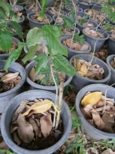 Even a baobab starts small: grown in Thailand from seeds