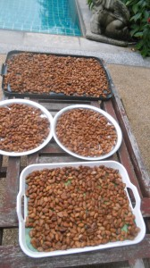 The fermented cocoa beans a dried in the sun