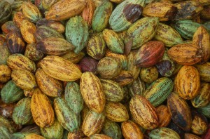 Cocoa beans come in pods