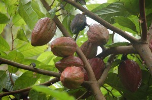 The cocoa fruits are almost ready for harvest
