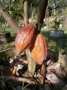The two very first cocoas at Discovery Garden in Pattaya