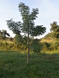 Baobab tree planted at Discovery Garden Pattaya