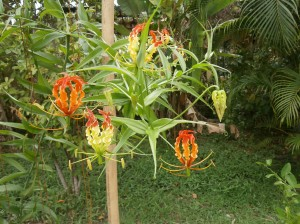 At Discovery Garden we display the fire lily almost all year around