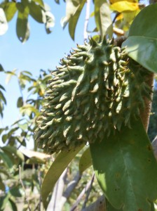 Young soursop fruits start appearing in Pattaya
