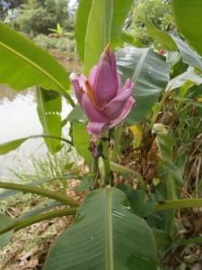 A pink banana flower