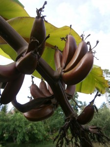 Red bananas and many others can be seen at Discovery Garden Pattaya