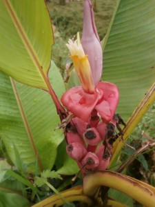 Musa velutina flower in Pattaya