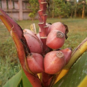 Musa velutina fruits with seeds