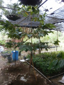Our most mature nutmeg tree in Pattaya