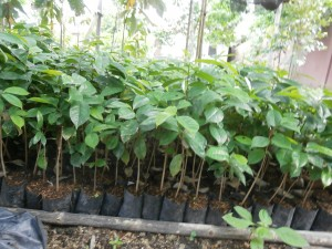 Soursop seedlings for Thailand and Laos are sold at Discovery Garden Pattaya and Nong Khai