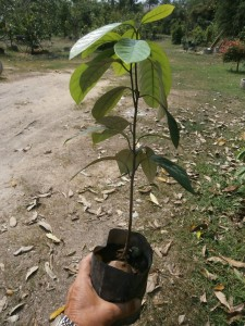 Plant more than one single nutmeg seedling