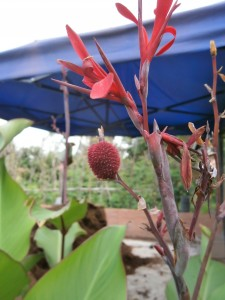 The attractive red flower of my Indian shot produces a red seed pod