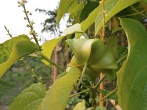 Inca inchi fruit in Pattaya and Nong Khai