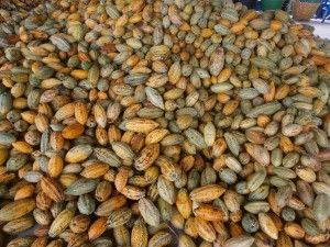 Thai cocoa seeds for sale Laos