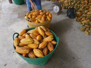 Cocoa grown in Thailand can be processed to chocolate