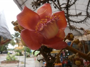 A fully grown cannonball tree can have up to 1000 flowers per day