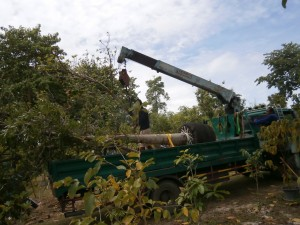 A huge truck delivered those Thai cannonball trees