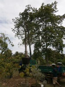 This is fast track cannonball tree planting
