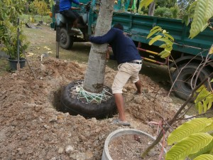 The cannonball tree fits in its hole