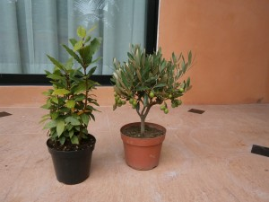 This small olive tree had small fruits already when it was brought to Thailand, together with bay leaves