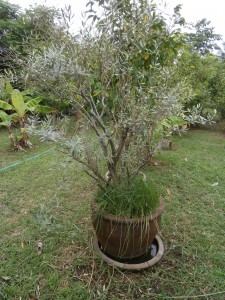 Olive trees survive in big pots