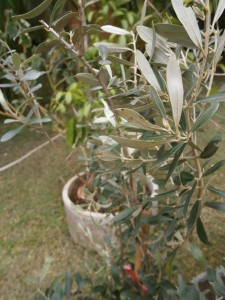 More than one olive tree necessary for possible harvest