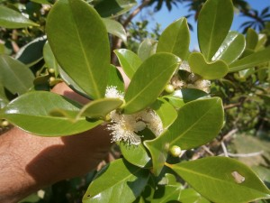 Strawberry guava flowers are white
