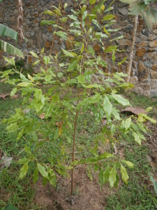 Clove and nutmeg trees can be grown in any Thai or Lao garden