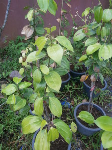 Cinnamon plants for sale in Thailand: Discovery Garden