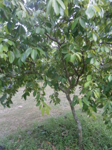 We have mature cinnamon trees for sale