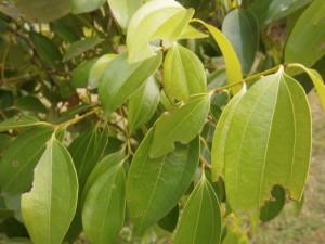Cinnamon trees love the rain, but also the sun
