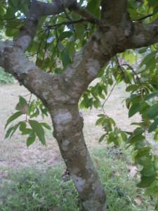 The inner bark is used as cinnamon