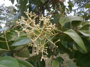 Cinnamon trees flower during the Lao and Thai rainy season