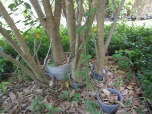 Clitoria racemosa trees have powerful roots