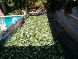 Drying Graviola leaves (annona muricata) at Discovery Garden Pattaya
