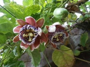 Flowers of passiflora foetida