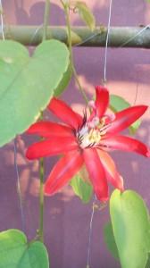 A Scarlet passion flower passiflora coccinea