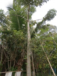 Baobab tree at Discovery Garden Pattaya