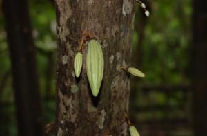 Small cocoa fruits are second