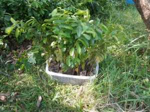 Seedlings of soursop trees are available in Pattaya and Nong Khai