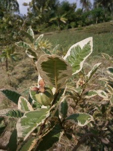 Guavas with white stripes on green skin can be seen at Discovery Garden Pattaya