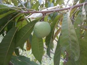 This was the very first tiesa fruit at Discovery Garden