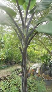 Black stems, but yellow bananas